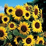 Park Seed Waooh! Sunflower Seeds Photo, bestseller 2018-2017 new, best price $6.50 review