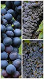 Homegrown Grape Seeds, 20 Seeds, Summer Royal Bunch Grape Vine Photo, bestseller 2018-2017 new, best price $5.45 review