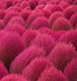 HEIRLOOM NON GMO Kochia Scoparia Grass 100 Seeds Photo, bestseller 2017-2016 new, best price $1.65 review