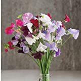 David's Garden Seeds Flower Sweet Pea Royal Mix SL1319A (Multi) 50 Heirloom Seeds Photo, bestseller 2018-2017 new, best price $8.45 review
