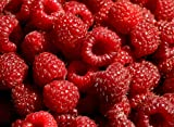 Hilton Raspberry Fruit Plant Seed 100 Stratisfied Berry Plant Seeds Photo, bestseller 2018-2017 new, best price $1.25 review