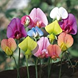 Heirloom 30 Seeds Sweet Pea Lathyrus Lord Anson's Bitter Vetch Everlasting White Pink Red Photo, bestseller 2018-2017 new, best price $1.40 review