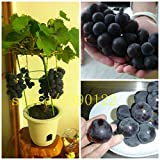 50/bag grape seeds bonsai fruit black grape seeds Dwarf grapes tree easy grow Japanese Dwarf fruit for home garden planting Photo, bestseller 2018-2017 new, best price $0.77 review