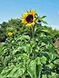 Sunflower, Mammoth Grey Stripe 25+ Seeds Organic Newly Harvested, 8-12 Foot Tall Photo, bestseller 2017-2016 new, best price $3.80 review
