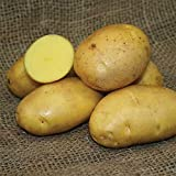 SEED POTATOES - 1 lb German Butterball * Organic Grown * Non GMO * Virus & Chemical Free * Ready for Spring Planting * Photo, bestseller 2018-2017 new, best price $8.51 review