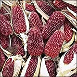 150 Red STRAWBERRY POPCORN CORN Zea Mays Vegetable Seeds Photo, bestseller 2019-2018 new, best price $1.95 review