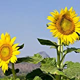 Sunflower Garden Seeds - Mammoth Grey Stripe - 1 Lb - Annual Sun Flower Gardening Seeds - Gray Photo, bestseller 2018-2017 new, best price $12.86 review