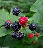 Wild Black Raspberry 1 year old Bush/shrub Edible Fruit Photo, bestseller 2018-2017 new, best price  review