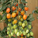 200+ Organic Apricot Dream Cherry Tomato Seeds - DH Seeds - UPC0715854679691 Photo, bestseller 2018-2017 new, best price $5.99 review