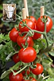 Summer Sweet Cherry Tomato (Organic) Tomato 150 Seeds By Jays Seeds Upc 650327337497 + 1 Free Plant Marker Photo, bestseller 2019-2018 new, best price $4.99 review