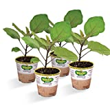Bonnie Plants Ichiban Eggplant (4 Pack) Live Plants Photo, bestseller 2018-2017 new, best price $19.99 review