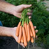 Carrot - Adelaide F1 - 500 Seeds Photo, bestseller 2018-2017 new, best price $2.17 review