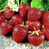 Sweet Charlie Strawberry Fruit Plant Seed 100 Stratisfied Berry Plant Seeds Photo, bestseller 2018-2017 new, best price $1.39 review