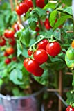 50 Tiny Tim Tomato Seeds - Patio Tomato, Dwarf Heirloom, Cherry Tomato - by RDR Seeds Photo, bestseller 2018-2017 new, best price $4.99 review