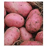 5 lb. SEED POTATOES - Red Pontiac - Organic - ORDER NOW for FALL PLANTING Photo, bestseller 2018-2017 new, best price $12.99 review