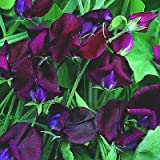 10 BLACK KNIGHT SWEET PEA Lathyrys Odoratus Flower Vine Seeds by Seedville Photo, bestseller 2018-2017 new, best price $1.55 review
