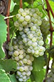 Van Zyverden Thompson Seedless Grapes Plants (Set of 3), White Photo, bestseller 2018-2017 new, best price $29.99 review