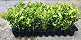 Japanese Boxwood Qty 60 Live Plants Buxus Fast Growing Cold Hardy Evergreen Photo, bestseller 2018-2017 new, best price $134.98 review