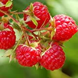 Heritage Red Raspberry Bush Seeds! SWEET! COMBINED S/H! See Our Store! Photo, bestseller 2018-2017 new, best price $10.50 review