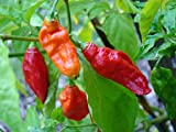 20 GHOST PEPPER SEEDS - WORLDS HOTTEST Naga Bhut Jolokia Cobra Chili Vegetable Photo, bestseller 2017-2016 new, best price $3.00 review