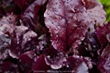Bulls Blood Heirloom Beet Seeds by Stonysoil Seed Company Photo, bestseller 2017-2016 new, best price $7.95 review