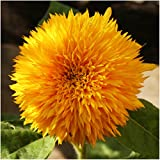 Package of 100 Seeds, Tall Teddy Sunflower (Helianthus annuus) Non-GMO Seeds by Seed Needs Photo, bestseller 2018-2017 new, best price $3.65 review