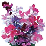 Burpee Sweet Dreams Mix Sweet Pea Seeds 100 seeds Photo, bestseller 2018-2017 new, best price $8.49 review