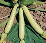 COURGETTE ZUCCHINI SUMMER SQUASH LONG WHITE LUNGO BIANCA 10 ORGANIC seeds Photo, bestseller 2018-2017 new, best price $9.99 review