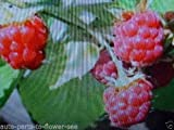 WILD RED RASPBERRY BUSH FRUIT BERRY SEEDS START YOUR OWN SWEET 'WILD RASPBERRY! Photo, bestseller 2018-2017 new, best price  review