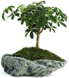 Natural Elements Rock Planter (Basin) – Realistic woodland-themed with intricate stone detail + Fiber Soil + moss mulch. Grow succulents, cactus, African Violets and bonsai. Striking in any décor. Photo, bestseller 2018-2017 new, best price $18.99 review