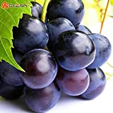 Brand New! 100 Seeds / Pack Sweet Kyoho Grape Seeds Advanced Fruit Seed Natural Growth Grape Delicious Gardening Fruit Plants Photo, bestseller 2018-2017 new, best price $2.75 review