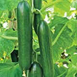 Mid-Eastern Beit Alpha Cucumber Seeds by Stonysoil Seed Company Photo, bestseller 2018-2017 new, best price $8.15 review