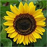 Sunflower Henry Wilde Seeds, Yellow (100 Seeds) Photo, bestseller 2017-2016 new, best price $3.65 review