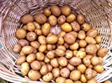 AAA Certified German Butterball Potato Seed 3 LBS Non GMO Hand Selected Quality Photo, bestseller 2018-2017 new, best price $12.99 review