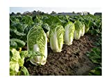 HOT sale! 500 Chinese cabbage seeds green vegetable seeds for healthy Bok Choy Seeds Nutritious Green Brassica Pekinensis Plants Photo, bestseller 2017-2016 new, best price $9.99 review