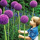 Giant Onion (Allium giganteum) 20 Seeds Photo, bestseller 2018-2017 new, best price $8.64 review