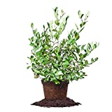 POWDER BLUE BLUEBERRY - Size: 1-2 ft, live plant, includes special blend fertilizer & planting guide Photo, bestseller 2018-2017 new, best price $39.15 review