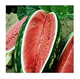 David's Garden Seeds Fruit Watermelon Allsweet SV142GB (Red) 50 Non-GMO, Open Pollinated Seeds Photo, bestseller 2019-2018 new, best price $7.95 review