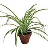 Ocean Spider Plant - 4 Clay Pot for Better Growth - Cleans the Air/Easy to Grow by Hirts: House Plant Photo, bestseller 2018-2017 new, best price  review
