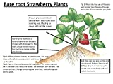 Mara Des Bois French Everbearing Strawberry 10 Plants - BEST FLAVOR! - Bare Root Photo, bestseller 2017-2016 new, best price $12.20 review