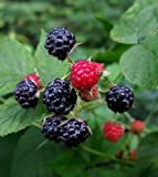 1 Bare Root of Wild Black Raspberry Live Plant, Fruit Jelly Wine Bush/Shrub Photo, bestseller 2018-2017 new, best price  review