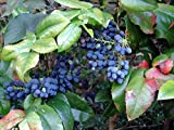 Oregon Holly Grape, Mahonia Aquifolium, Shrub 20 Seeds Photo, bestseller 2018-2017 new, best price $3.14 review