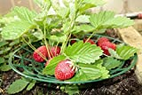 Strawberry Supports - Easy to Use Strawberry Plant Support with 3 Sturdy Legs - Protection of Strawberry Plants from Mold, Rot and Dirt 6 Per Pack Photo, bestseller 2018-2017 new, best price $24.00 review