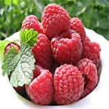 Hot Sale 100 RED RASPBERRY Rubus Idaeus Bush Fruit Seeds free shipping Photo, bestseller 2018-2017 new, best price $5.48 review