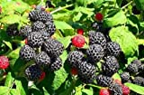 Black Raspberry Bush Seeds! SWEET DELICIOUS FRUIT! 12 seeds Photo, bestseller 2018-2017 new, best price  review