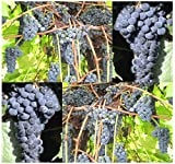 10 x Riverbank Grape - Vitis riparia - Vine Seeds - Fragrant Flowering Vine - HARDIEST SPECIES Known Excellent For Jellies & Wine Making - COLD Hardy Zones 3 - 9 - By MySeeds.Co Photo, bestseller 2018-2017 new, best price $4.78 review