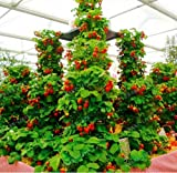 New Red giant Climbing Strawberry 500+ Seeds Photo, bestseller 2018-2017 new, best price $2.20 review