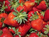 Strawberry Seeds - Alpine Mignonette Heirloom - Treasures By Lee Copyright Photo, bestseller 2018-2017 new, best price $5.99 review