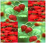 50 x ITALIAN RED ALPINE GOURMET MINI Strawberry Seed seeds - ICE CREAM ICECREAM TOPPING - Highly Aromatic - TASTE OF HEAVEN - By MySeeds.Co Photo, bestseller 2017-2016 new, best price $6.95 review