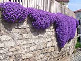 250 Aubrieta Seeds - Cascade Purple Flower Seeds, Perennial, Deer Resistant ! Photo, bestseller 2018-2017 new, best price $0.95 review